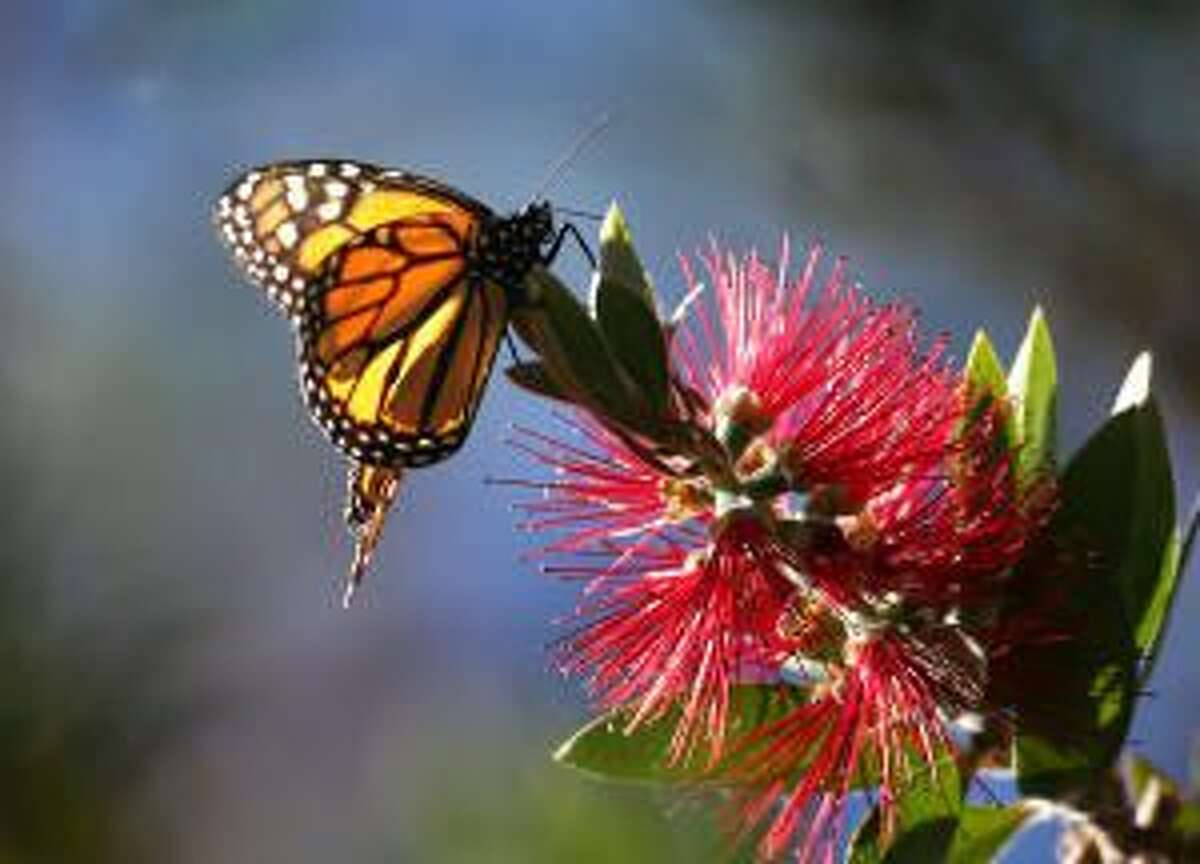 A Monarch butterfly feeds on a bottlebrush plant at Monarch Grove Sanctuary in Pacific Grove Friday, Dec. 20, 2013. The quaint town on the tip of the Monterey Peninsula is rich in history, architecture and natural wonders.