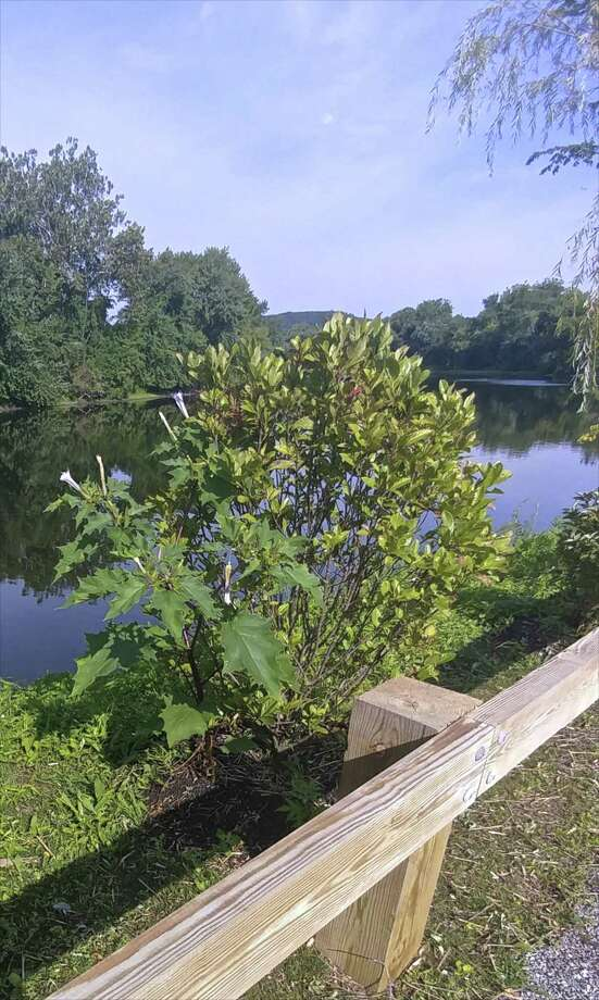 Jimson, the leafy spreading plant to the left, before its removal Friday from New Milford's River Trail. Photo: Contributed Photo / The News-Times / The News-Times Contributed