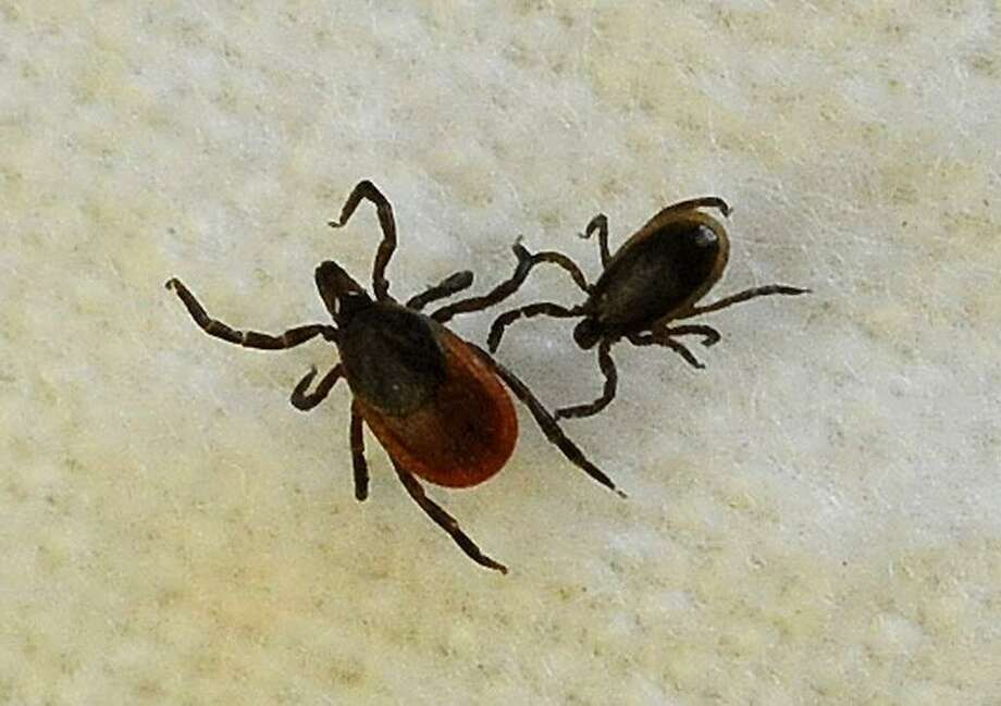 A female blacklegged tick, left, and a male, are shown in assistant professor Neeta Connally's lab at Western Connecticut State University in Danbury in 2013. Photo: Hearst Connecticut Media File Photo / The News-Times