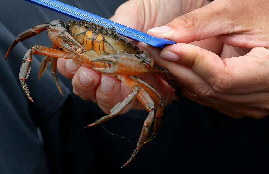 Kate Bimrose measures a European green crab trapped and removed from Seadrift Lagoon in Stinson Beach. Photo: Paul Chinn, The Chronicle