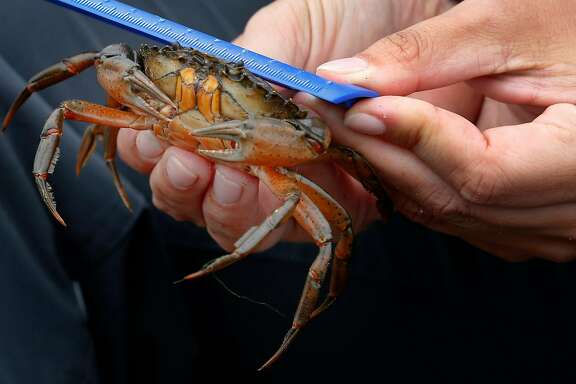 Kate Bimrose measures a non-native European green crab trapped and removed from Seadrift Lagoon in Stinson Beach, Calif. on Tuesday, Aug. 15, 2017. Marine biologists recorded 333 of the species trapped on Tuesday alone. The invasive crustaceans have been plaguing the Pacific coast from Monterey Bay north to British Columbia for the past several years.