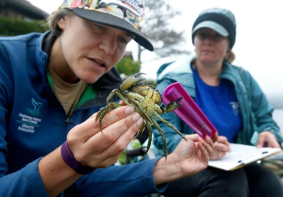 Kate Bimrose (left) and Monika Krach examine a European green crab. They have flourished in Seadrift Lagoon. Photo: Paul Chinn, The Chronicle