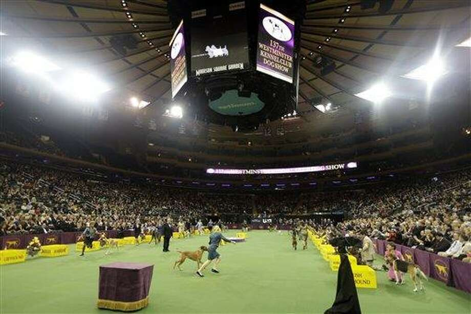 Dogs are shown with the Hound group during the Westminster Kennel Club dog show Monday, Feb. 11, 2013, at Madison Square Garden in New York.(AP Photo/Frank Franklin II) Photo: ASSOCIATED PRESS / AP2013