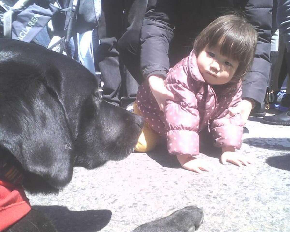 An unidentified toddler in Boston gets close up view of a therapy dog.