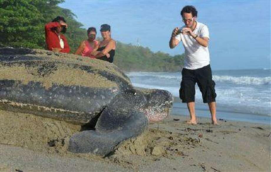 In this May 2, 2013 photo, a tourist takes photographs of a leatherback turtle as it heads to the ocean after burying her eggs in the sand at daybreak on a narrow strip of beach in Grande Riviere, Trinidad. Officials with the U.S.-based Sea Turtle Conservancy say Trinidad is now likely the world's leading tourist destination for people to see leatherbacks. Photo: AP / AP