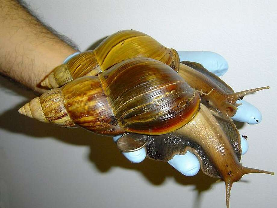 This undated photo provided by Scott Burton shows a Giant African Land Snail. In an aggressive effort to keep an invasive snail species from making a permanent home in Florida, 78,000 giant African land snails have been captured in the past year, state agriculture officials said Wednesday. The infestation was discovered in September 2011. Officials hoped they could keep the snail from joining other exotic plant, fish and animal species that have found havens in the state. (AP Photo/Scott Burton) Photo: ASSOCIATED PRESS / AP2004