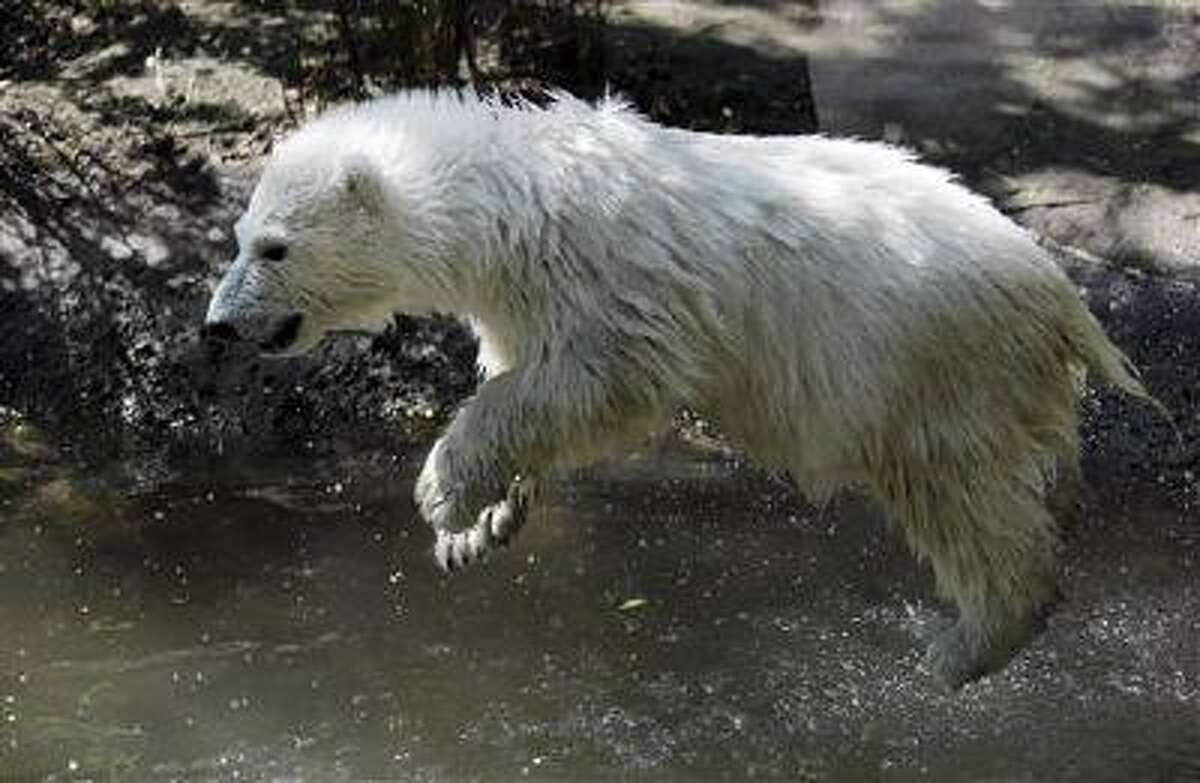 Luna, a resident polar bear cub, jumps in the water during a news conference at the Buffalo Zoo in Buffalo, N.Y., Wednesday, May 15, 2013. Luna will be the playmate for Kali, an orphaned polar bear cub from Alaska, until a permanent home is located.