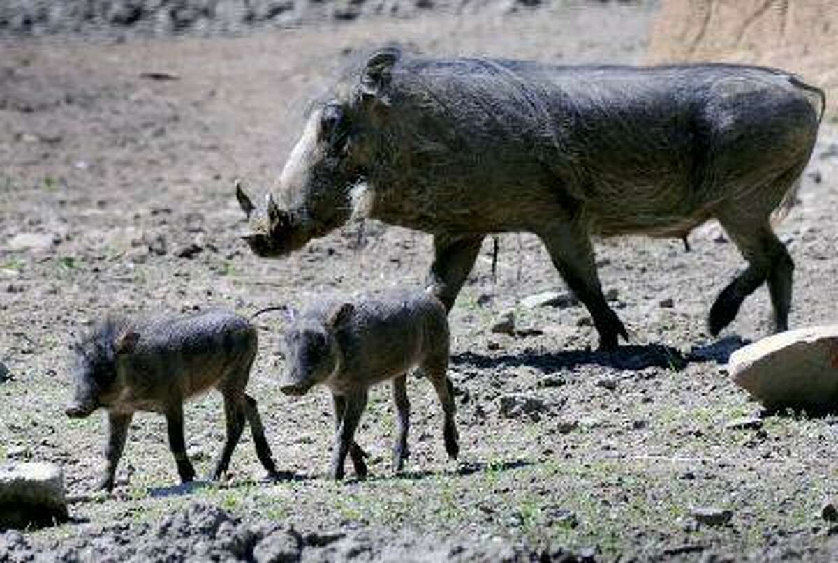 Baby warthogs enjoy their first day outside.