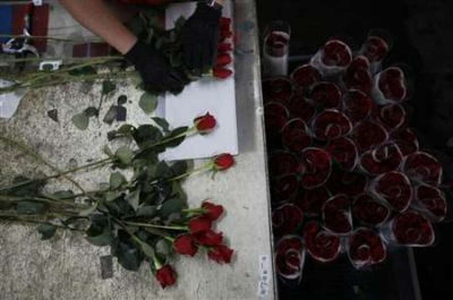A worker selects roses for export before Valentine's Day at Elite Flowers in Facatativa February 6, 2013. REUTERS/John Vizcaino / X02467