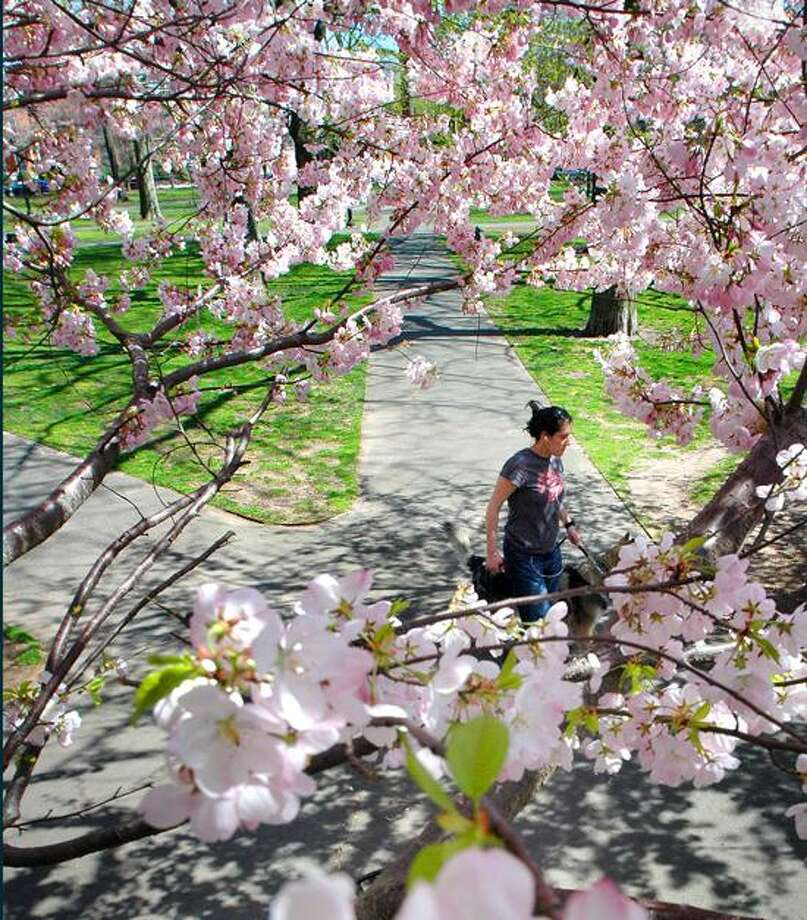 Register file photo: Yoshino cherry blossoms turn Wooster Square pink this time of year.