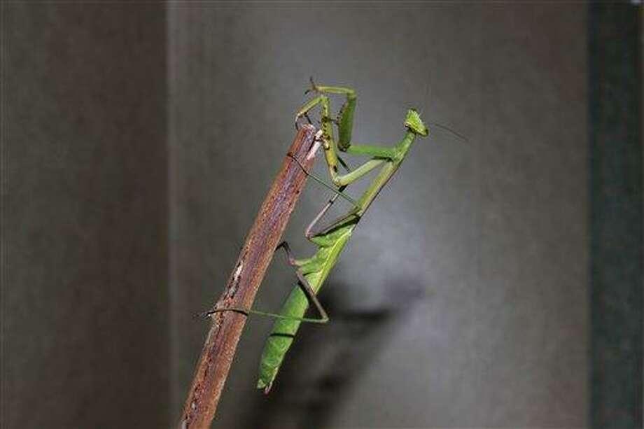 Yen Saw/Associated Press photo: Mantis Photo: AP / Yen Saw