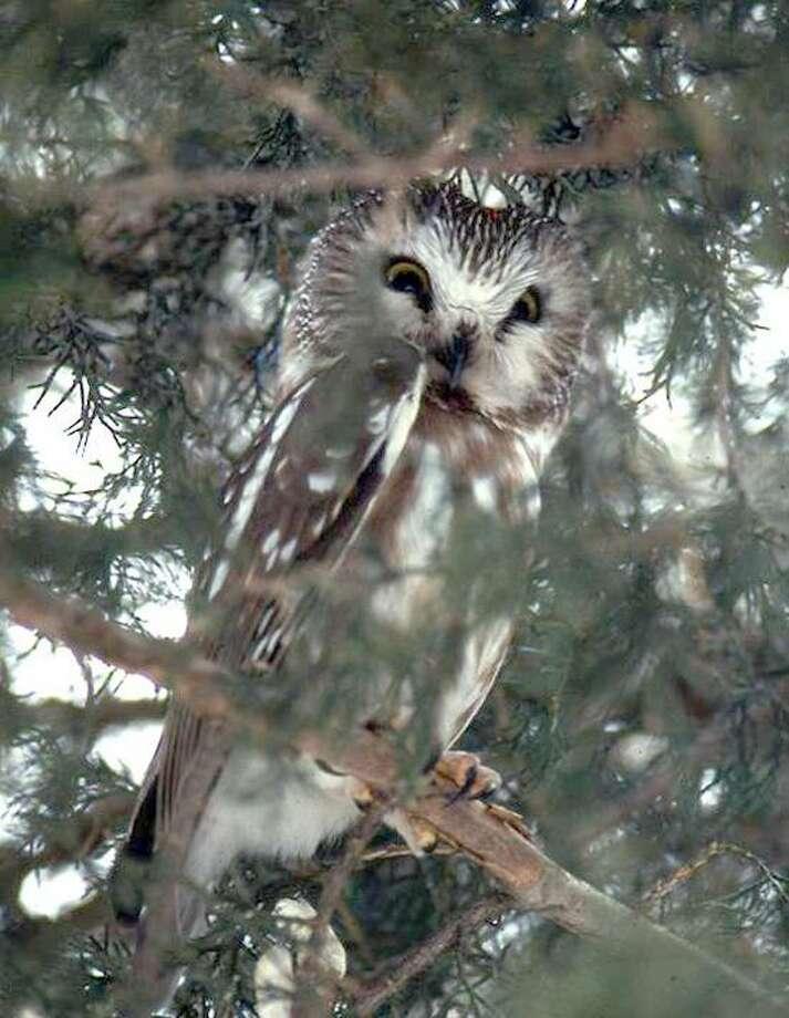 Peter Picone/DEEP photo: Saw-whet owl