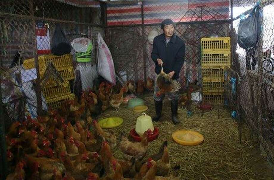 A worker catches a live chicken at a poultry market in Shanghai, China on Friday, April 5, 2013. China announced a sixth death from the new bird flu H7N9 strain Friday, while authorities in Shanghai halted the sale of live fowl and slaughtered all poultry at a market where the virus was detected in pigeons being sold for meat. The first cases were announced Sunday. (AP Photo) Photo: AP / AP