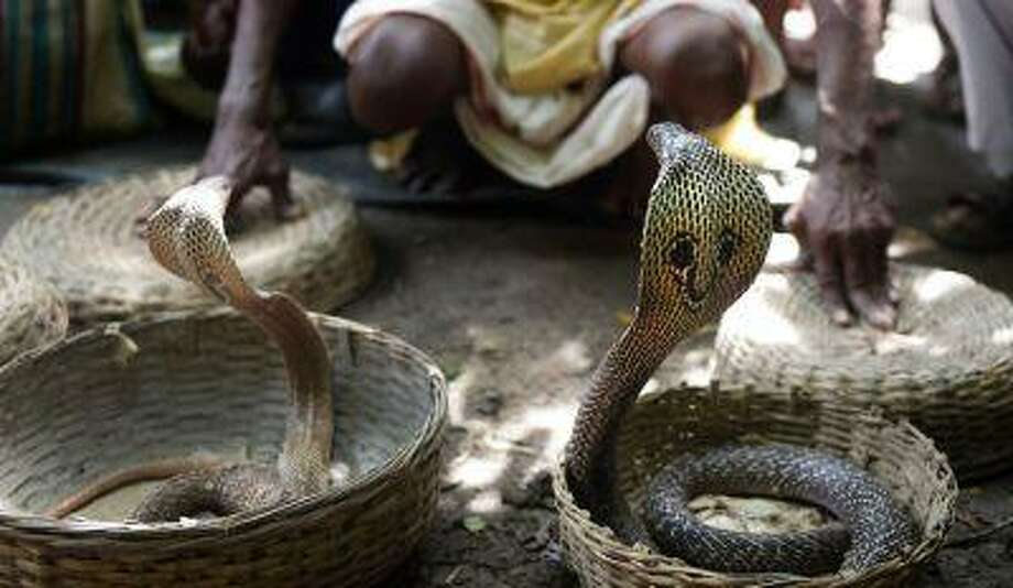 An Indian snake charmer performs with 'gokhras' - cobras - at a snake fair at Purba Bishnupur village, around 85 kms north of Kolkata on August 17, 2013. Photo: AFP/Getty Images / 2013 AFP
