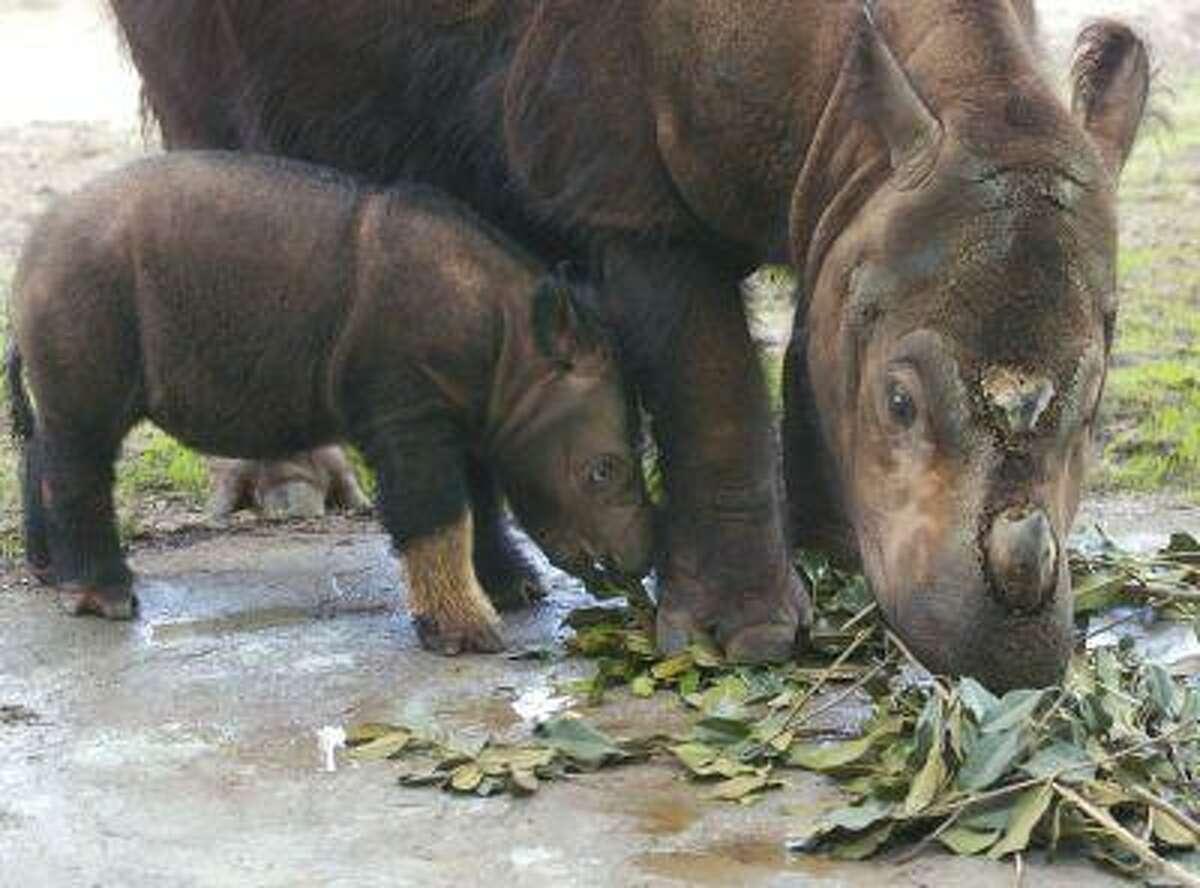 Emi, a Sumatran rhinoceros eats Ficus leaves with her three-week-old female calf at the Cincinnati Zoo and Botanical Garden August 19, 2004 in Cincinnati, Ohio.