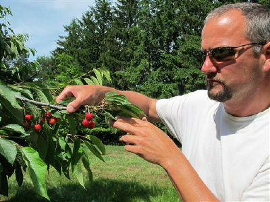 In this June 28, 2013, photo Patrick McGuire of Atwood, Mich., examines sweet cherries growing in his orchard. McGuire says a labor shortage caused by the immigration controversy is making it difficult for him and other Michigan fruit growers to harvest their crops. Photo: AP / AP