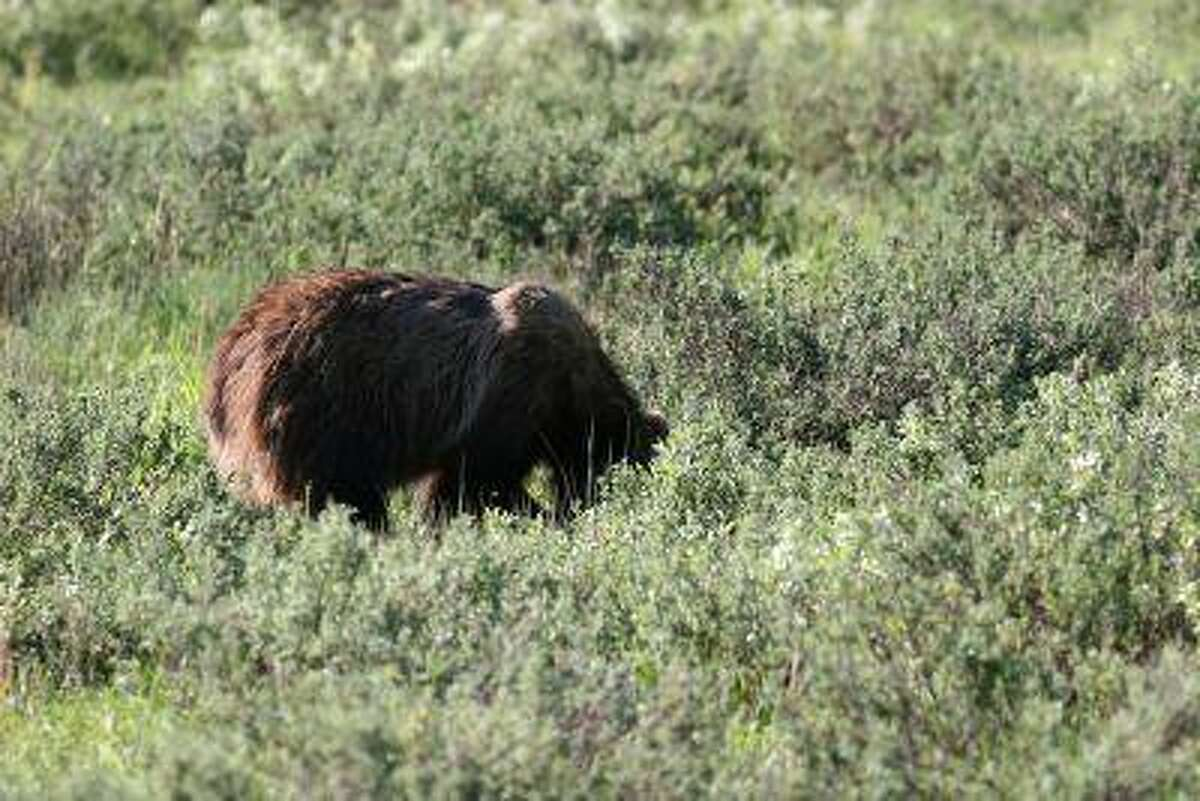 This sub-adult male grizzly bear foraging near Jackson Lake in Grand Teton National Park was so comfortable with the humans watching him across the road that he never raised his head to look at us, instead turning his back and concentrating on getting lunch. Kyle Wagner, The Denver Post