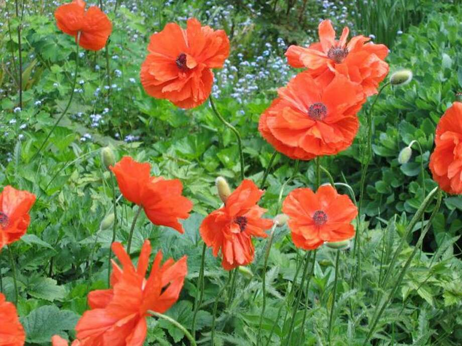 """REMEMBERING THOSE: Linda Jensen of North Haven sent along this photo and a few words, """"In spite of the dreary weather, my poppies were not deterred from blooming in time for Memorial Day. When they bloom, I think of the poem by John McCrae ... 'In Flanders fields the poppies blow / Between the crosses, row on row ...'"""" TAKE YOUR BEST SHOT: Readers are invited to send their nature photos and comments to <a href=""""mailto:features@nhregister.com"""">features@nhregister.com</a> or post them on our Facebook fan page, <a href=""""http://www.facebook.com/newhavenregister"""">www.facebook.com/newhavenregister</a>"""