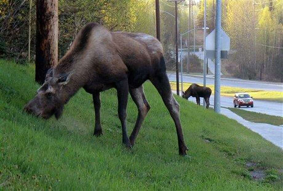 Two moose munch on newly grown grass recently along Norhtern Lights Boulevard in Anchorage, Alaska. Associated Press Photo: AP / AP