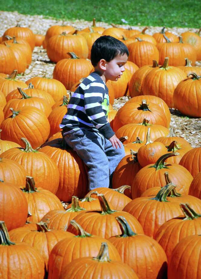 luca angiollo 2 of east haven walks amongst the pumpkins at rose orchards in