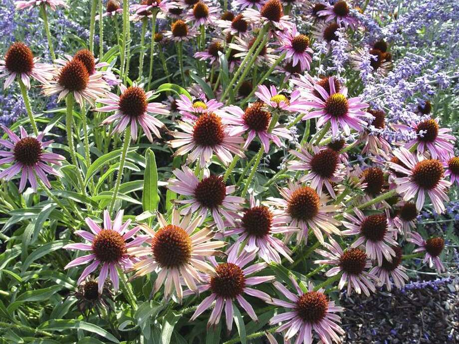 Our native purple coneflower, Echinacea purpurea, benefits from fall division every few years. (SHNS photo courtesy Maureen Gilmer)