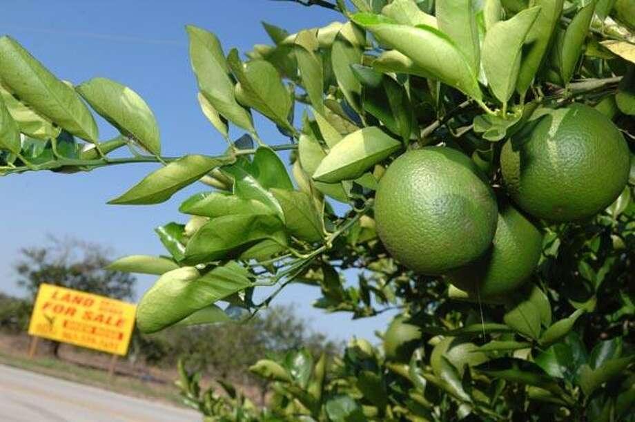 Rotten fruit: Bacteria threatening Florida citrus farms