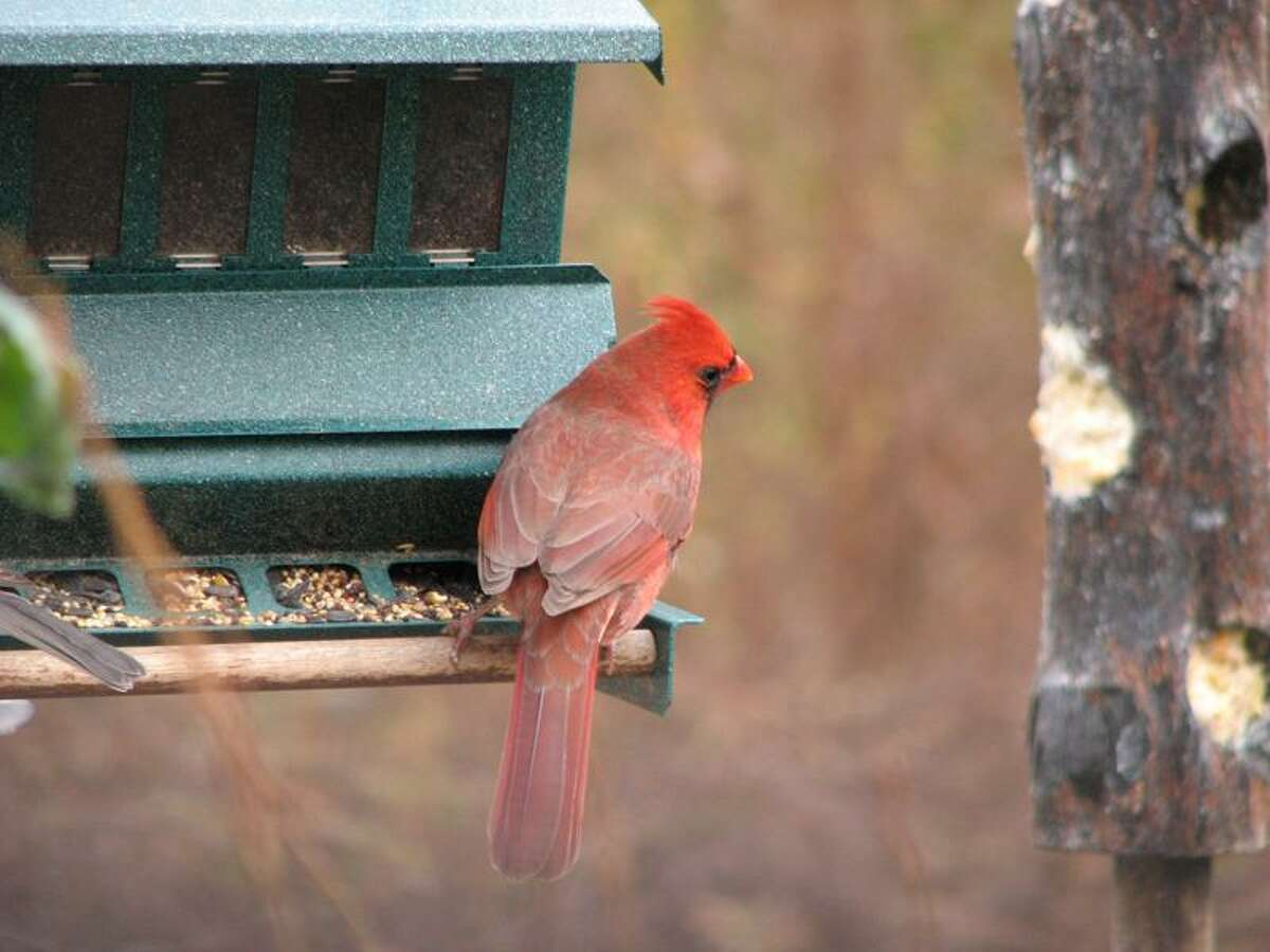 Peter Vitali photo: The New Haven Bird Club's annual feeder survey begins this week.