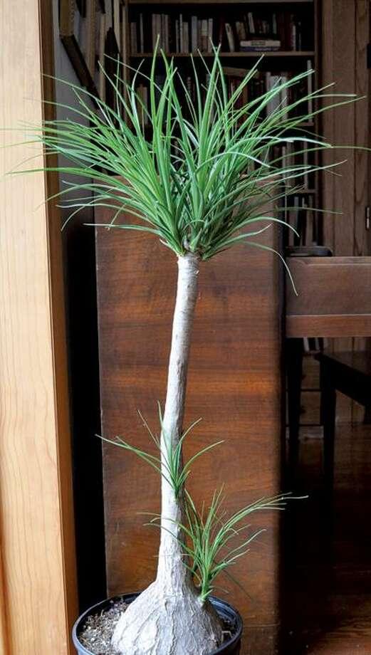 Lee Reich/AP, Ponytail palm Photo: AP / AP2009