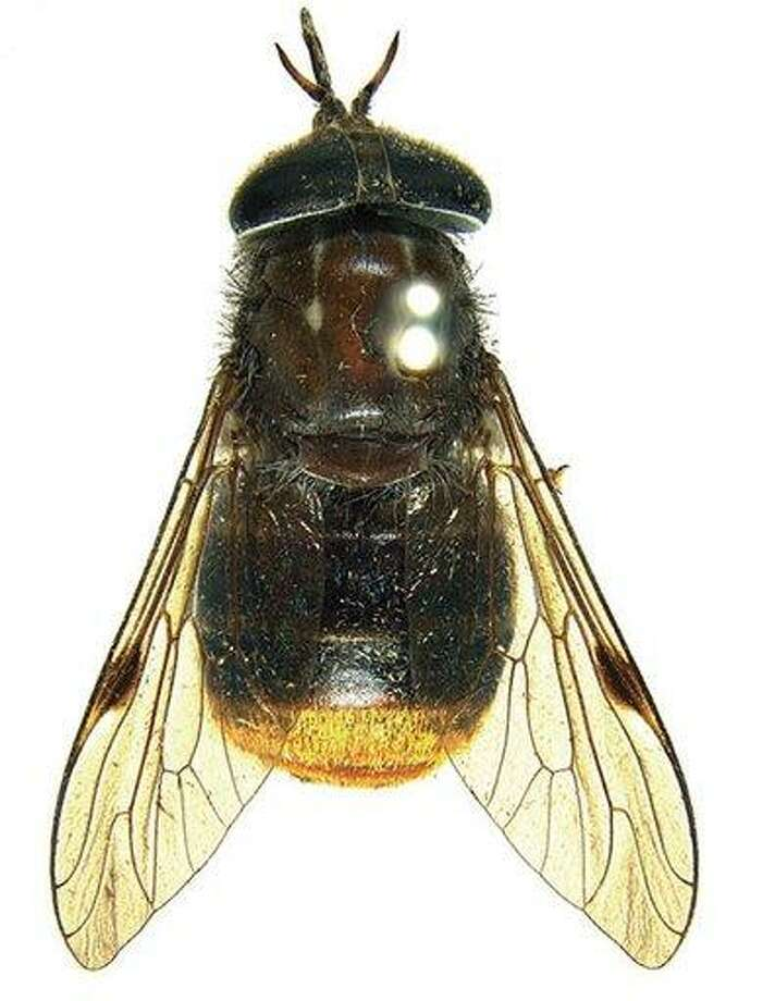 In this 2009 photo released by researcher Bryan Lessard of Commonwealth Scientific and Industrial Research Organization (CSIRO), a newly discovered horse fly in Austrlia with its golden-haired bum is shown at the Australian National Insect Collection, Canberra, Australia. For 24-year-old CSIRO researcher Lessard, a fan of pop diva Beyonce, there was only one name worthy of its beauty: Beyonce, He said he wanted to pay respect to the insect's beauty by naming it Scaptia (Plinthina) beyonceae. (AP Photo/Bryan Lessard, Commonwealth Scientific and Industrial Research Organization) Photo: AP / CSIRO