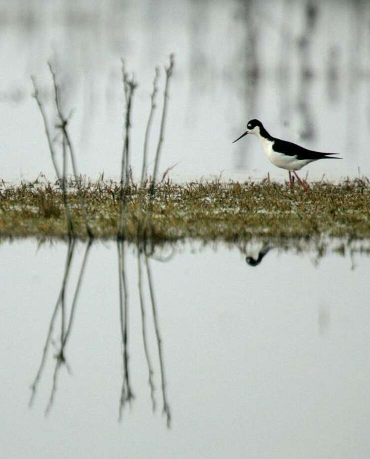 Marcio Jose Sanchez/Associated Press photo: A black-necked stilt would, indeed, be a great bird to see on any one of the walks on the calendar this week, as they are spotted here from time to time. Photo: ASSOCIATED PRESS / AP2007