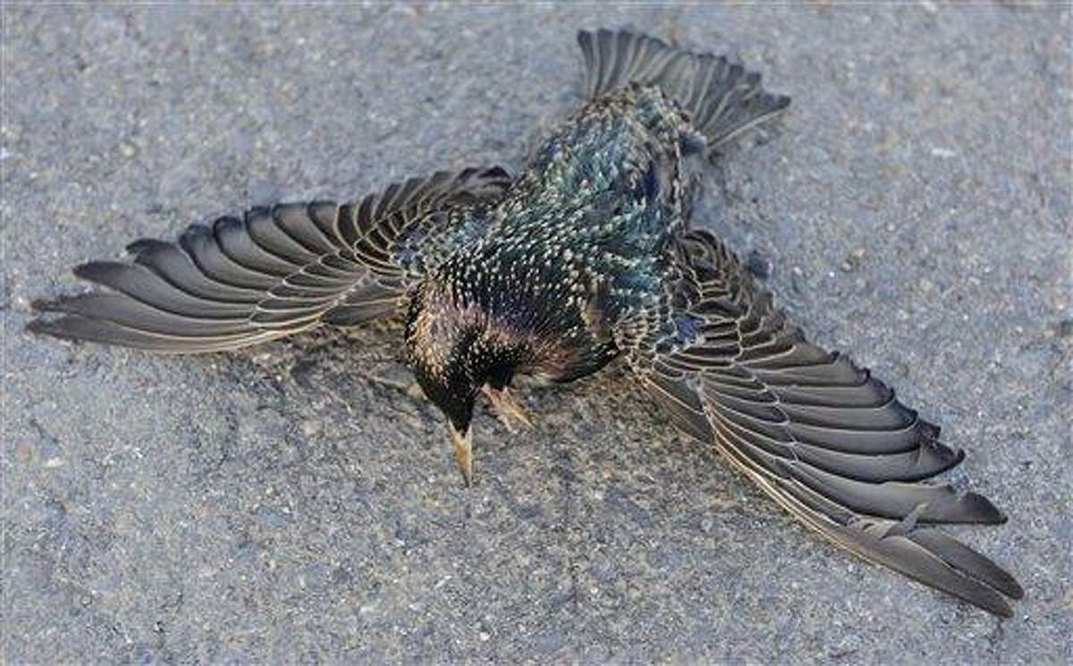 A dead Starling lays along the side of the Morganza Hwy. in Pointe Coupee Parish, La., Monday, Jan. 3, 2011, about 300 miles south of Beebe, Ark., where more than 3,000 blackbirds fell from the sky three days earlier. Louisiana state biologists are sending some of the birds found at Labarre to laboratories in Georgia and Wisconsin for testing. (AP Photo/The Advocate, Liz Condo)