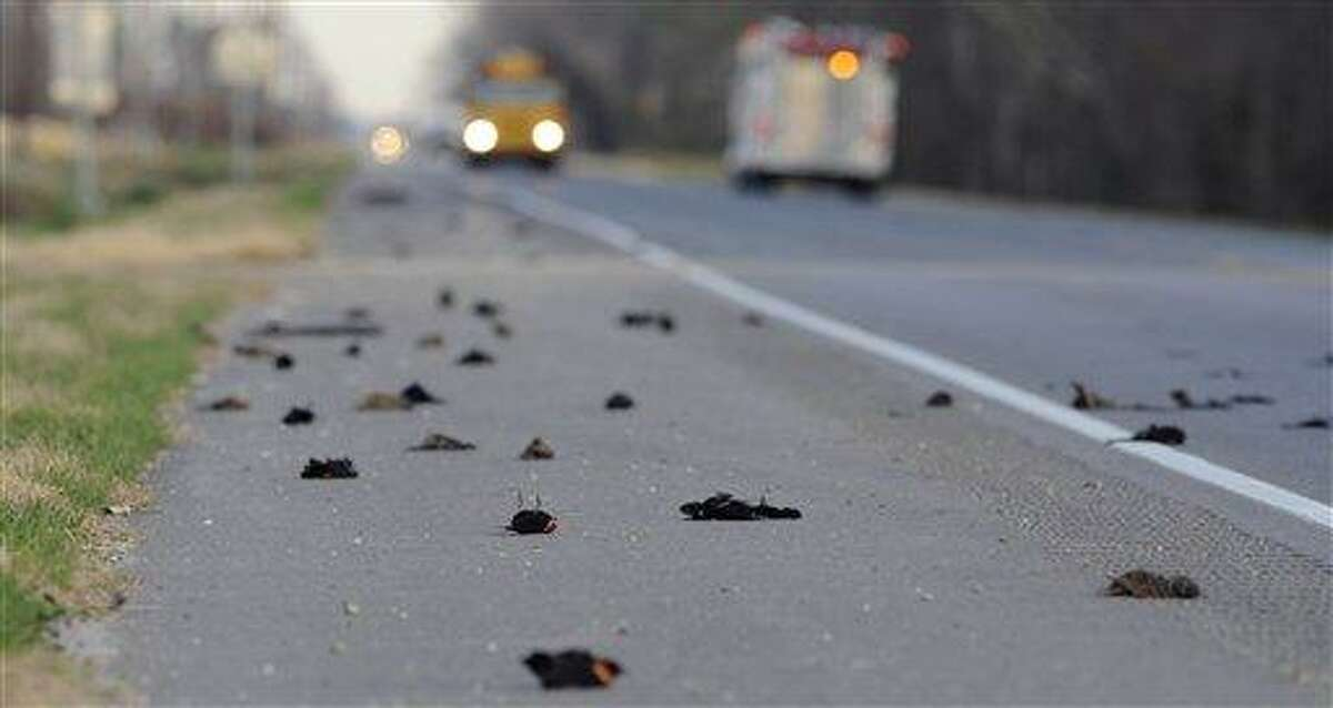 Hundreds of dead birds lay along the side of the Morganza Hwy. in Pointe Coupee Parish, La., Monday, Jan. 3, 2011, about 300 miles south of Beebe, Ark., where more than 3,000 blackbirds fell from the sky three days earlier. Louisiana state biologists are sending some of the birds found at Labarre to laboratories in Georgia and Wisconsin for testing. (AP Photo/The Advocate, Liz Condo)