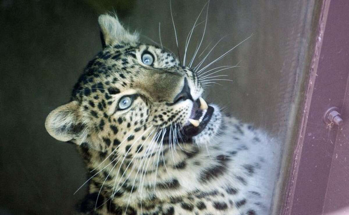 This Amur leopard is seen after it attacked a child through the fence surrounding its enclosure at the Sedgwick County Zoo in Wichita, Kan., on Friday. Associated Press