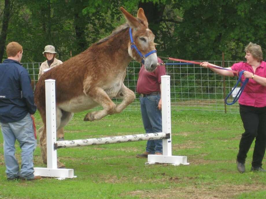 Contributed photo: Kimberly Brockett of Guilford shows just how accommodating these animals can be. The Donkey and Mule Festival runs from 10 a.m. to 4 p.m. Saturday at Bishop's on Route 1 in Guilford.