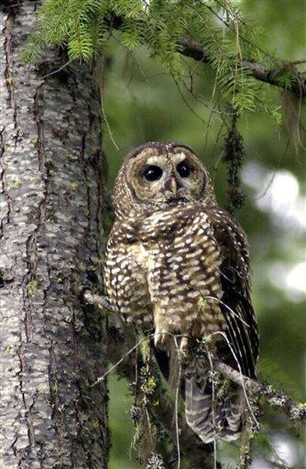 FILE -  In this May 8, 2003 file photo, a northern spotted owl sits on a tree in the Deschutes National Forest in Oregon. After months of tinkering, the Obama administration is due out this week with its last-ditch plan for saving the northern spotted owl from extinction. (AP Photo/Don Ryan) Photo: AP / AP2003