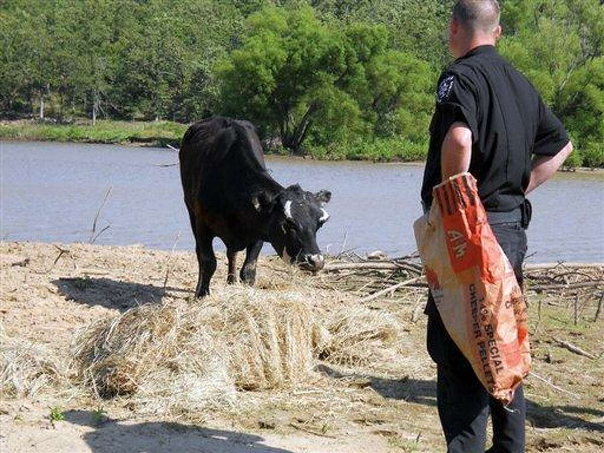 Pittsburg County Sheriffs reservist Kyle Moody observes a cow found marooned on island in the middle of Lake Eufaula as it eats some hay and feed provided by the Pittsburg County Sheriffs Department. Although it has more than enough to drink, local officials are bringing it hay ? and trying figure out where it came from. (AP Photo/The News Capitol, Jeanne LeFlore)