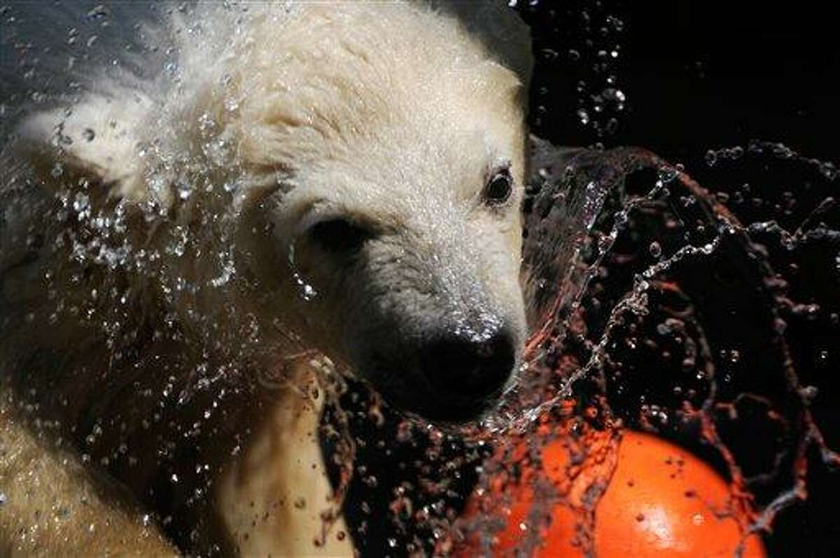 """An orphaned polar bear cub that was rescued from Alaska's North Slope in April is plays Friday, June 24, 2011 at the Alaska Zoo, where it has been recovering, in Anchorage, Alaska. The bear has been named Qannik, which means """"snowflake"""" in Inupiaq, was captured at the Alpine Oil Field. (AP Photo/The Anchorage Daily News, Mark Lester)"""