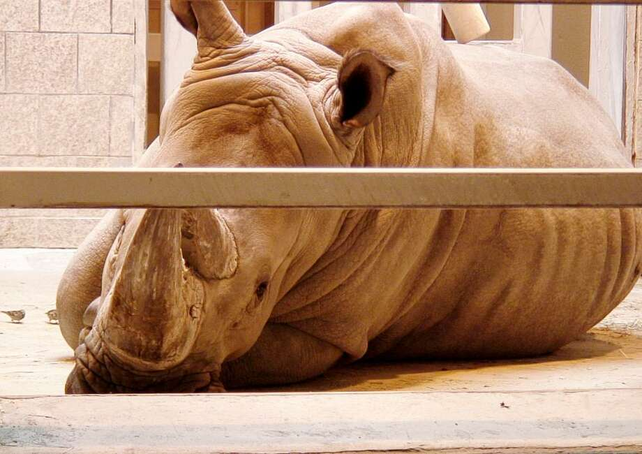 Tomba, a 12-year-old bull, is one of two southern white rhinoceros at the Detroit Zoo. (Joe Ballor/Daily Tribune)