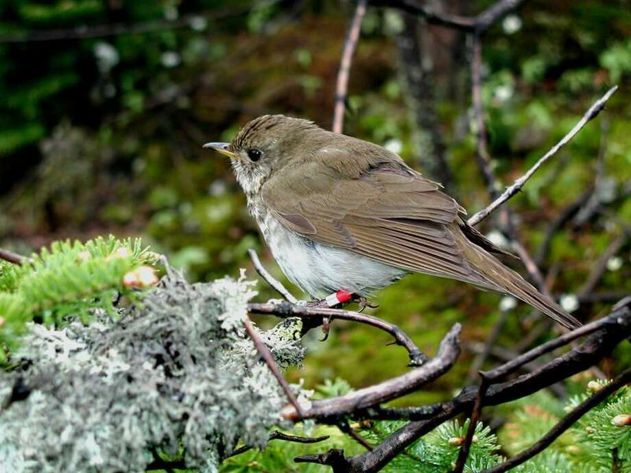 """Photo courtesy of Chris Rimmer: Members of the New Haven Bird Club will hear more about Bicknell's thrush at their monthly meeting this week. TAKE YOUR BEST SHOT: Readers are invited to send their nature photos and comments to <a href=""""mailto:features@nhregister.com"""">features@nhregister.com</a> or post them on our Facebook fan page, www.facebook.com/newhavenregister"""