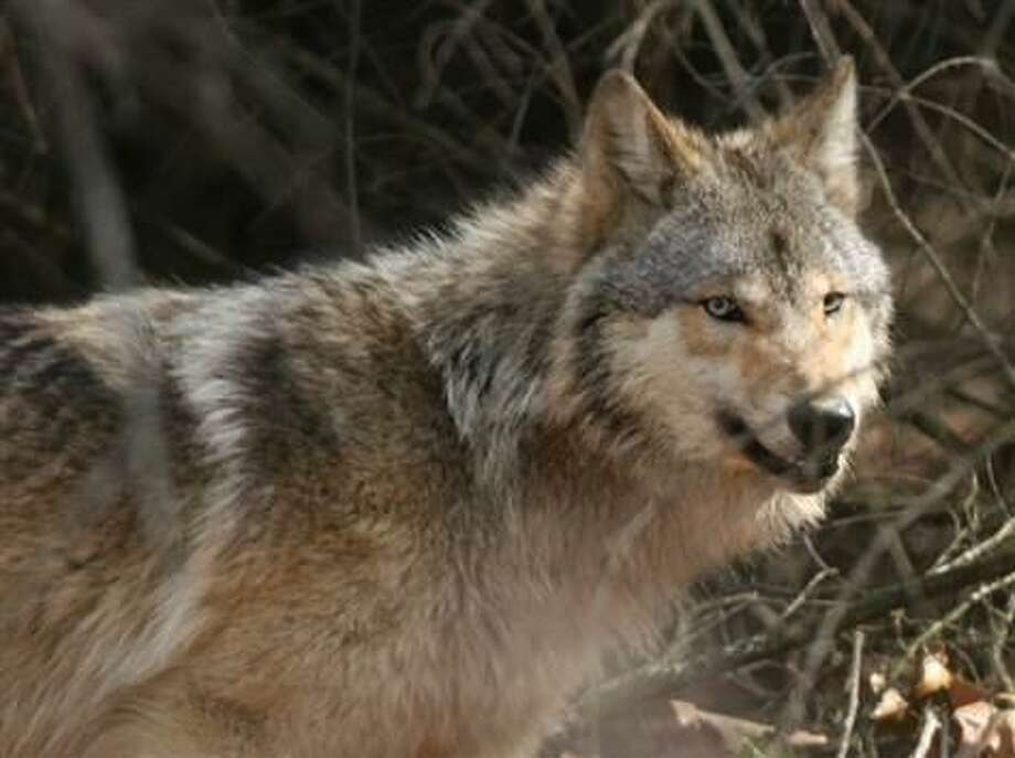Jayne Belsky/Wisconsin Dept. of Natural Resources via AP  Gray wolves like this one in Wisconsin were cited by the Bush administration as an example of why its reinterpretation of the Endangered Species Act will help wildlife