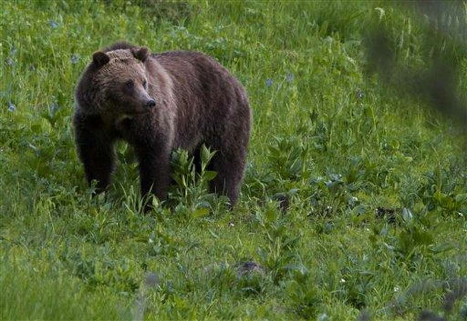 A grizzly bear roams near Beaver Lake in Yellowstone National Park, Wyoming, Wednesday July 6, 2011. A grizzly bear killed a man who was hiking with his wife in Yellowstone National Park's backcountry after the couple apparently surprised the female bear and its cubs on Wednesday, park officials said. It was the park's first fatal grizzly mauling since 1986, but the third in the Yellowstone region in just over a year. (AP Photo/Jim Urquhart) Photo: AP / Jim Urquhart/Straylighteffect.com