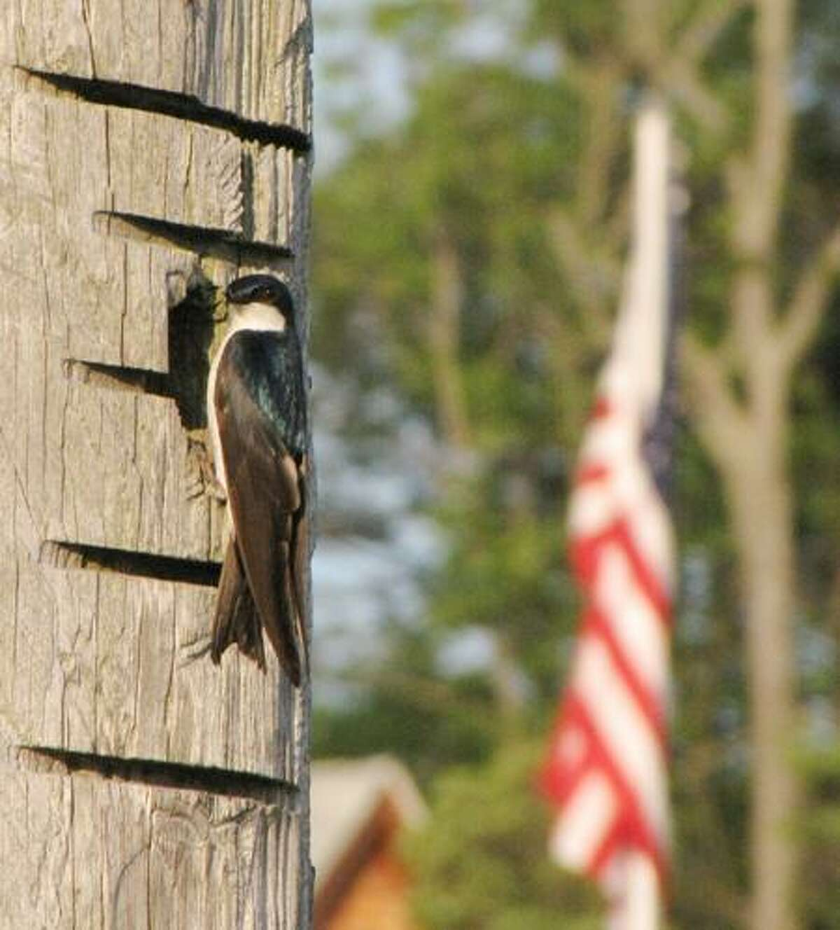 PERFECT FOR THE 4TH OF JULY: Robert Fort of East Haven sent along this photo and wrote, this tree swallow