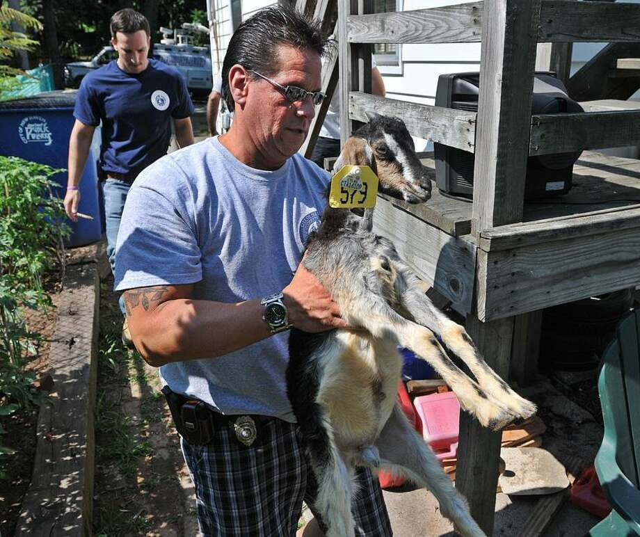 LCI's Rickie Mazzadra carries a goat out of the apartment of a multi-family home Tuesday on Rockhill Road in New Haven. LCI removed nearly two dozen chickens in poor condition from the basement and two goats that were living inside the apartment. Peter Casolino/New Haven Register