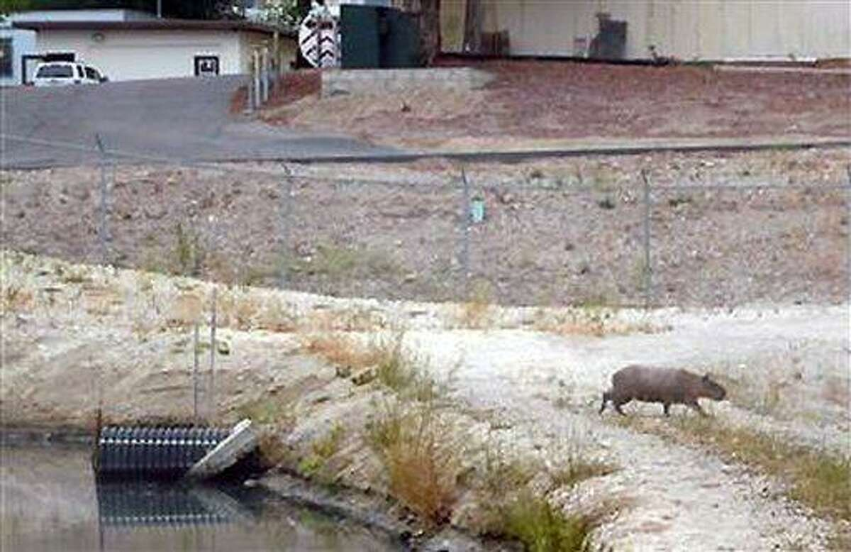 This image provided by the City of San Luis Obispo shows a capybara, a giant rodent native to South America, that was spotted roaming in California's Central Coast town of San Luis Obispo, Calif., on Wednesday Aug. 17, 2011. The California Department of Fish and Game estimates the capybara is about 100 to 120 pounds and may be the same one seen at a ranch about a mile from a treatment plant two years ago. (AP Photo/City of San Luis Obispo)