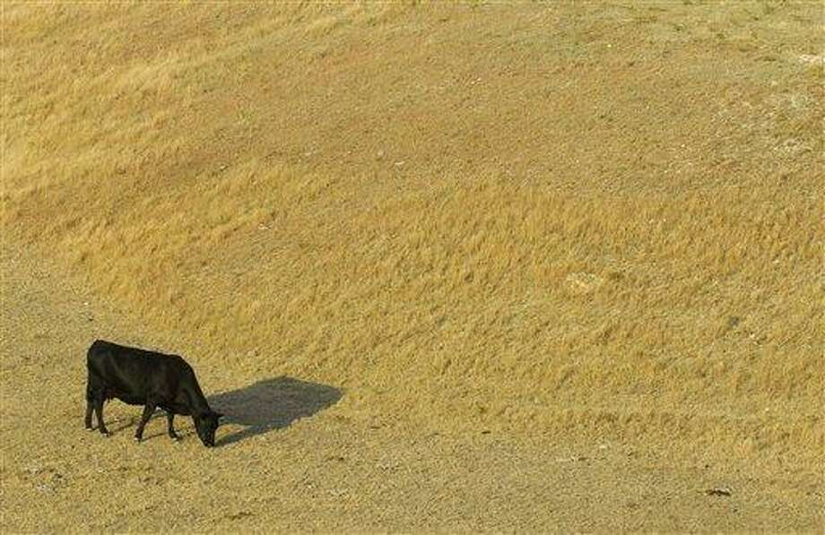 A cow looks for something to eat as it grazes July 6 in a dry pasture southwest of Hays, Kansas. A new report shows the drought gripping the United States is the widest since 1956. Associated Press Photo: AP / The Hays Daily News
