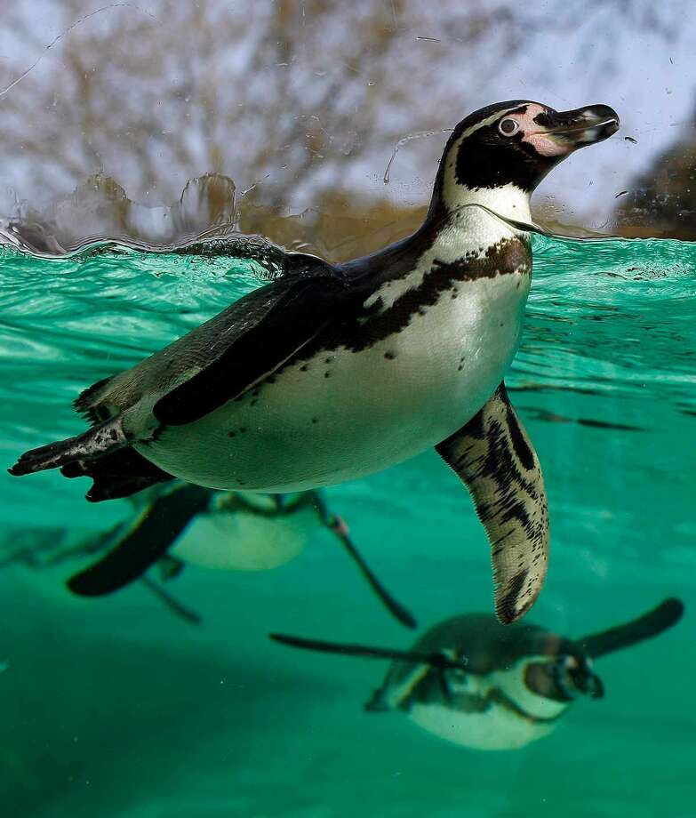 A Humboldt Penguin swims under water after taking a dive from the new Olympic London 2012 style diving board installed in the penguin enclosure at London Zoo Thursday. The Zoo's colony of 64 penguins were introduced to the new diving board on Thursday. Associated Press Photo: AP / AP