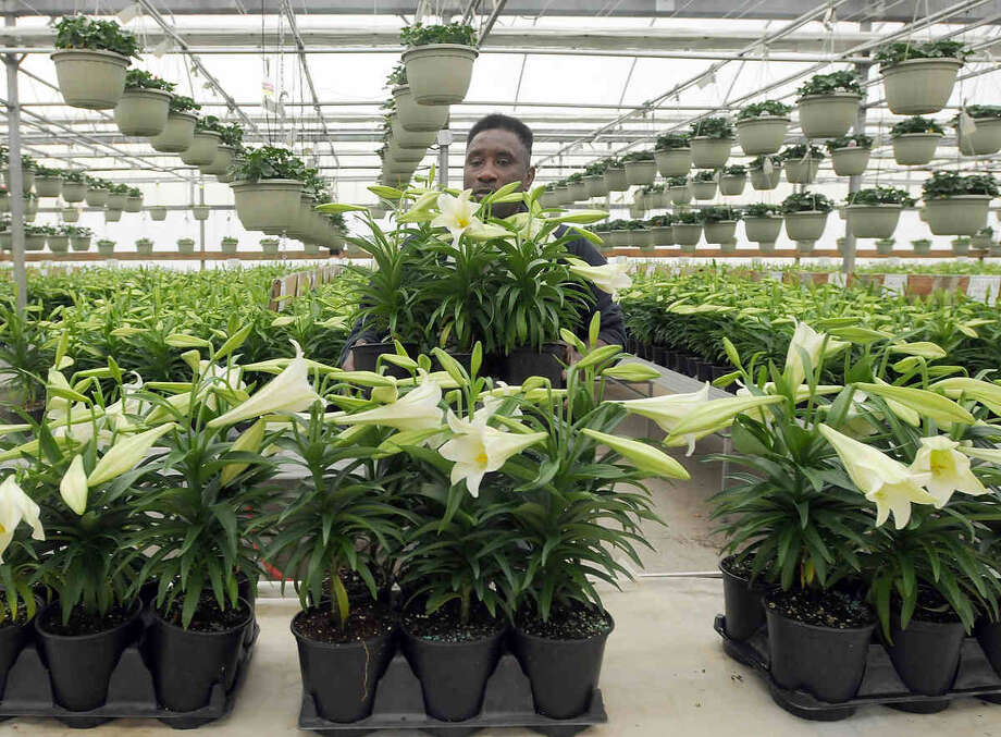 Alexander McDonnell, an employee of Vaiuso Farms greenhouses and nursery grower in Branford, culls blooming Easter lillies Friday in a greenhouse. Vaiuso Farms copes with the burden of unseasonably warm weather and its negative economic impact on early blooming Easter plants. Register/Peter Hvizdak Photo: New Haven Register / ©Peter Hvizdak /  New Haven Register