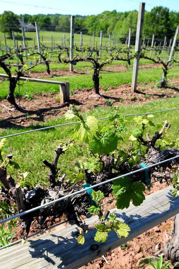 Arnold Gold/Register photo: The vineyards at Paradise Hills Vineyard & Winery in Wallingford.