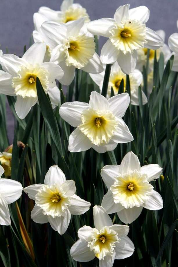 Associated Press photo: We're not sure what state the daffodils will be in with such a warm spring, but we know the Meriden Daffodil Festival will be in full bloom Saturday and Sunday. Photo: AP / AP