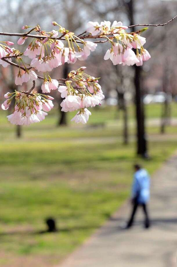 VM Williams: The blossoms may have been a little early this year, but there is much to be enjoyed at Sunday's Wooster Square Cherry Blossom Festival, starting with a chamber concert Friday.